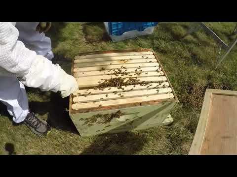 Honeybee Swarm August 2018