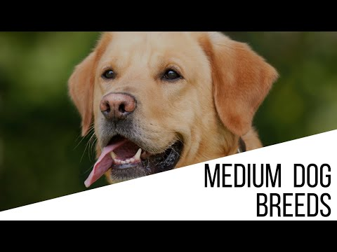 Medium sized dog breeds - How to choose the best dog breed for your family