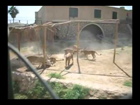Lions Eat Live Donkeys