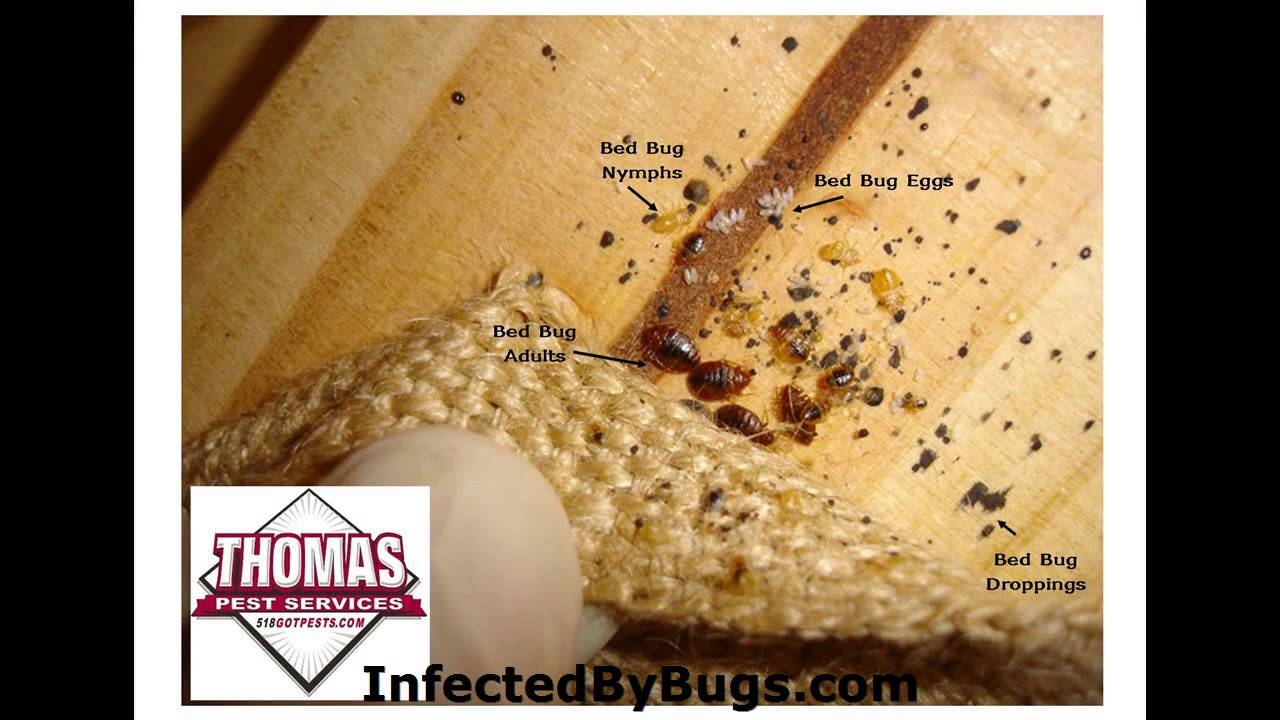 bedbug do rid spreading your stop bed of bedbugs getting this infestation to bug bugs