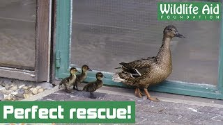 one chance for a perfect duckling rescue