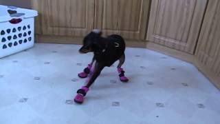 Смешные собаки впервые в жизни примеряют ботинки