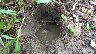 Survival skills catch fish by mud pit underground - Primitive technology cooking fish eating