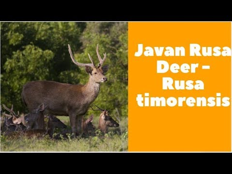 Javan Rusa Deer - Rusa timorensis