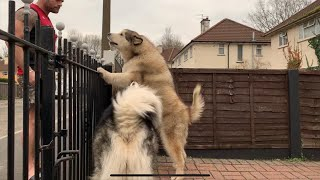 ANGRY ALASKAN MALAMUTE GUARD DOG - THE SCARY SIDE OF PHIL