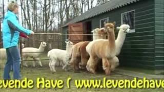 Halstermak maken van een alpaca