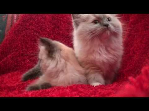 Blues, Seals, Bi-colors, Lynx  Ragdoll Kittens January 28, 2017 A Ragdoll To Love Cattery