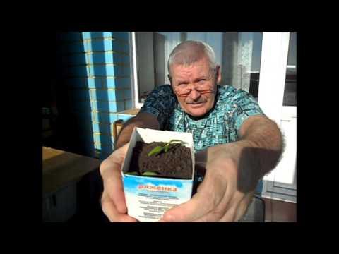 Как часто поливать рассаду
