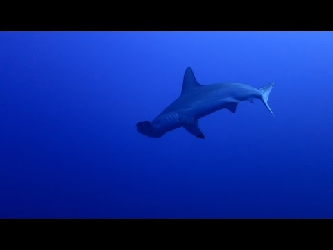 Hammerhead sharks in the Red Sea.