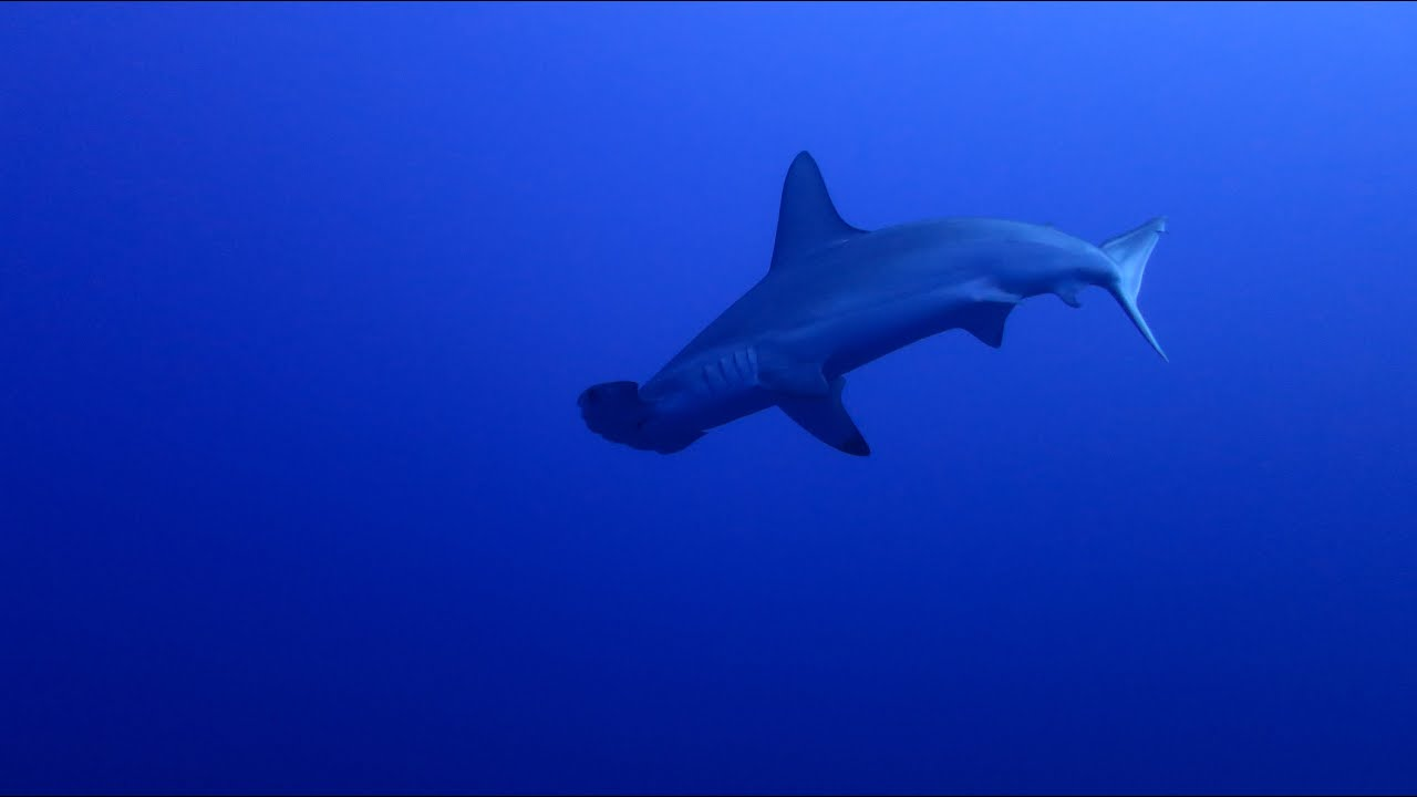 hammerhead sharks in the red sea youtube