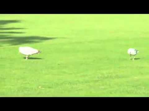 avian maniac