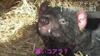 タスマニアデビル Tasmanian Devil【多摩動物公園】