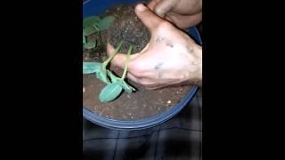 Hobi.Saksı'ya salatalık fidesi ekimi