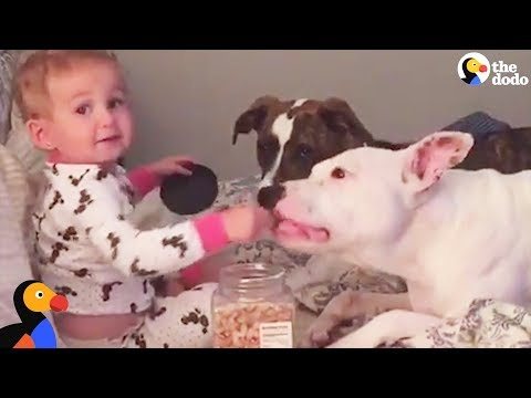 Pit Bull Dogs And Kids: Why Growing Up With A Pit Bull Is The BEST   The Dodo