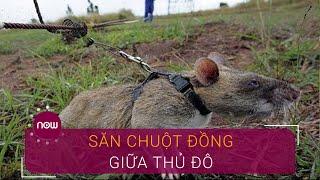 Săn chuột đồng: Nghề độc nhất Thủ đô | VTC Now