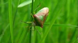 Acanthosoma haemorrhoidale Acanthosoma haemorrhoidale   Punaise de l'aubépine Punaise des bois Punaise à bouclier Punaise ensanglantée