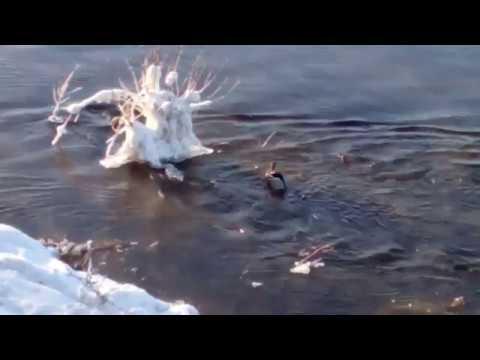 Зимовка уток в Иркутске