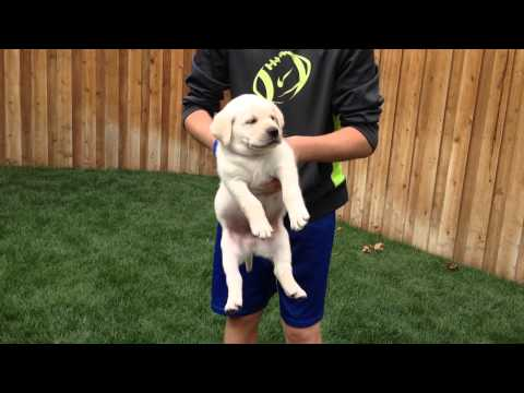 'Spidey' 6 week old yellow lab puppy Temperament Testing - High Desert Labradors