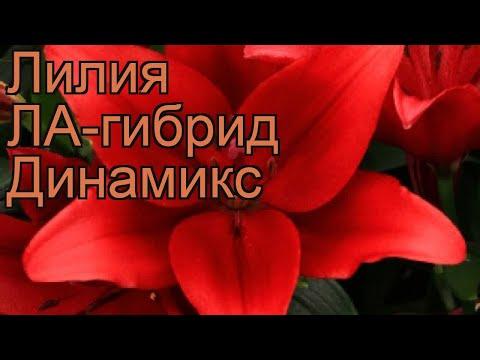 Лилия ла-гибрид Динамикс (lilium la-hybrid dynamix) �� обзор: как сажать, луковицы лилии Динамикс