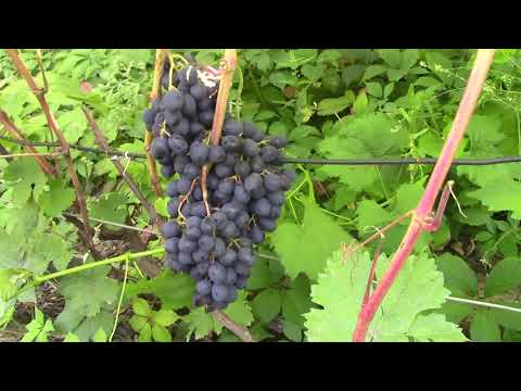 Виноград в Сибири. Сорта
