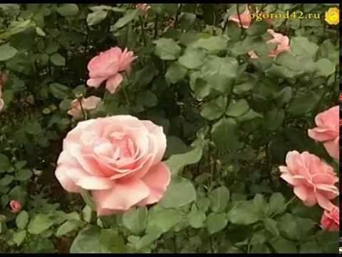 Розы в Сибири и на Алтае