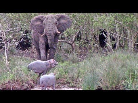 Massive Elephant vs 3 Baby Hippos