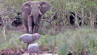 危ない、早くそこをどいて!アフリカゾウの進路をふさいでしまったカバの子供たち