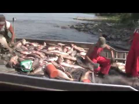 Chinese Fishing Company Harvesting Asian Carp