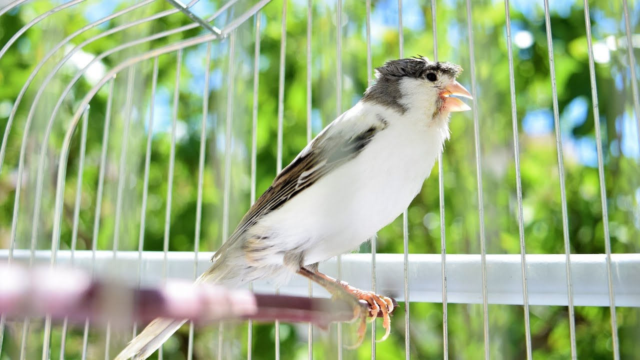 Canary singing - Most Spectacular Video Training-Make your canary singing like champion!