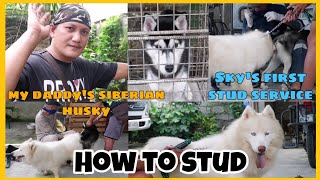 VLOG # 35 FOR DOG LOVERS |FIRST STUD SERVICE  OF OUR SIBERIAN HUSKY How does it work?