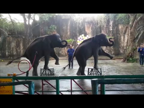 Elephant show (Tiger Zoo,Sriracha,Thailand)