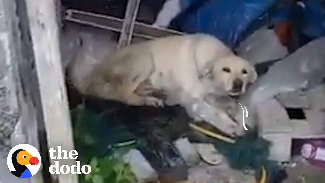 Man Finds Sick Labrador And Transforms Her Life   The Dodo