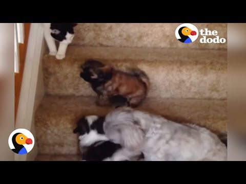 Puppies vs Stairs: Puppy Tries Stairs with Help From Cat, Dog Siblings | The Dodo