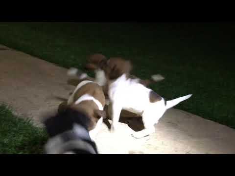 PuppyFinder.com : Jack Russells