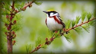 Пение Птиц и Картинки Лета /  Birds Singing, Summer Sounds / Пение Птиц и Картинки Лета