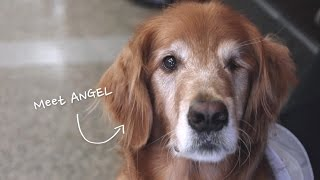 Houston's Official Therapy Dog, Angel