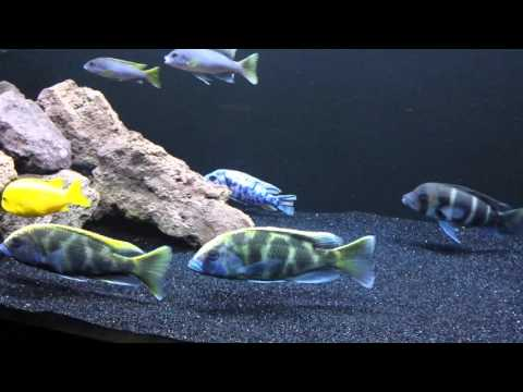 African Cichlid Update Black Sand Substrate