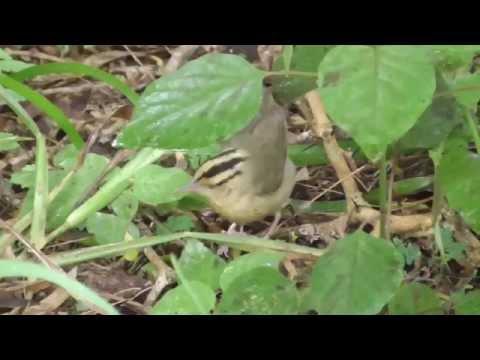 Worm-eating warbler 2