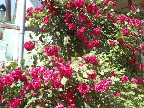 КРАСНАЯ ПЛЕТИСТАЯ РОЗА НАСТОЯЩАЯ КРАСАВИЦА. ВЬЮЩИЕСЯ РОЗЫ / climbing roses