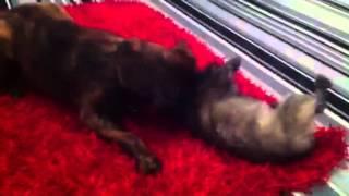 Bullweiler Vs Cairn Terrier
