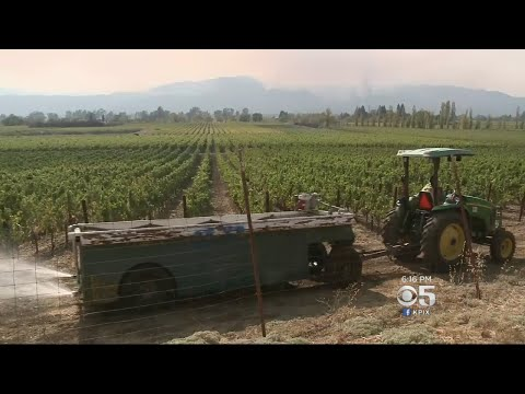 Wine Country Tries To Finish Grape Harvest Amid Wildfires