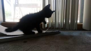 My two black kittens