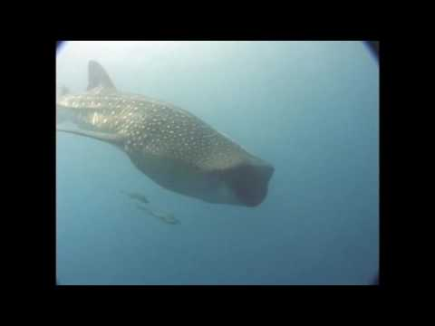 Best whaleshark dive in my 25 years of professional diving - Hassan Ali (Mirihi Island Resort)