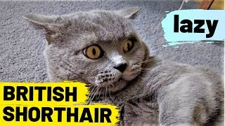 British Shorthair - funny lazy cat
