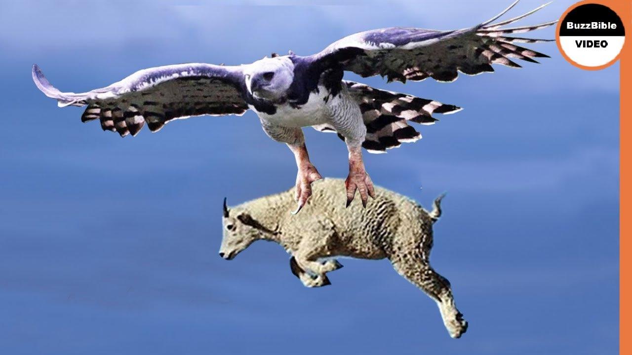Unbelievable Eagles Attacks - Eagle vs Deer, Goat, Warthog
