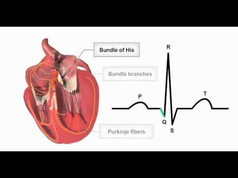 Anatomía - Fisiología de la conducción cardiaca - YouTube