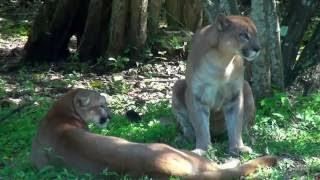 激しいライオンVS最高の動物は野生の戦いをする2016動物ライオン虎のク...