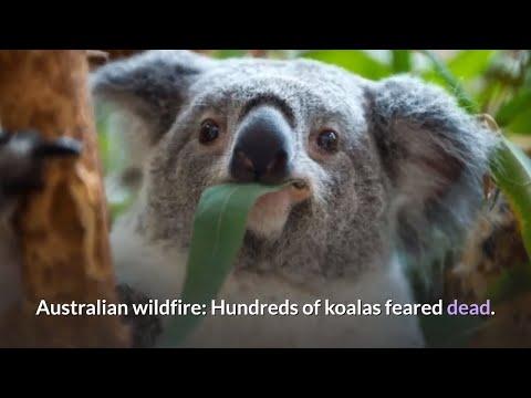 Wildfire: Hundreds of koalas feared dead