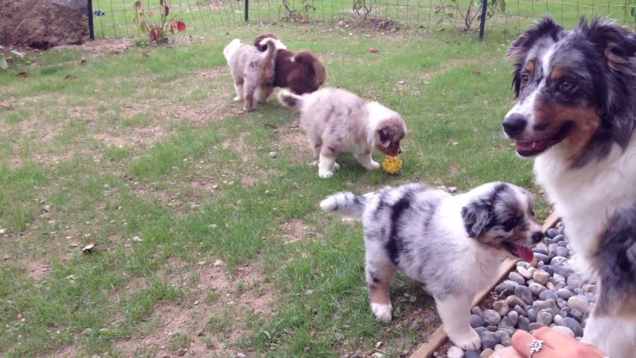 Puppies Australian Shepherd 5 weeks old - YouTube
