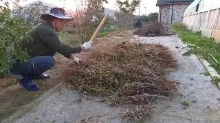 오가피콩 수확하기